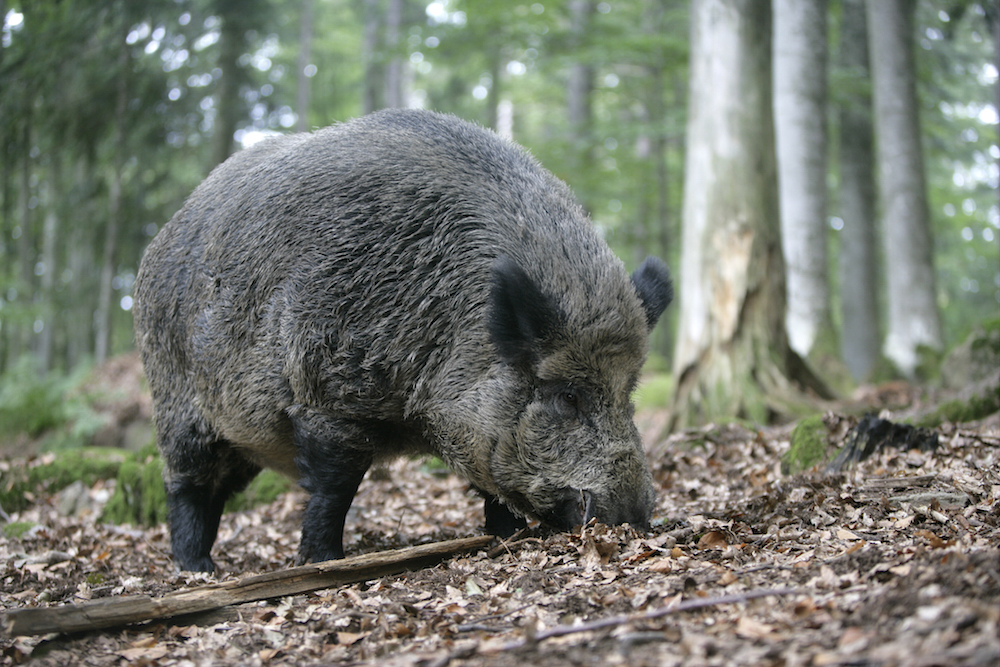 Boar Fencing